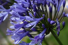 Lily of the Nile  (Agapanthus sp.) Stock Photography