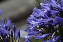 Lily of the Nile  (Agapanthus sp.) Stock Image