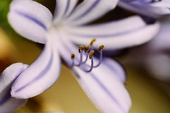 Blossoming Lily of the Nile Macro. A Lily of the Nile blossoming Royalty Free Stock Photo