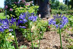 Lily of the Nile. Close up of light blue purple lavender lilies, or Agapanthus orientalist, in a garden at the Huntington Library and Gardens, San Marino Stock Image