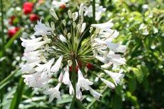 lily Nilu Zdjęcie Stock