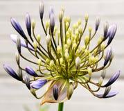 lily Nilu Zdjęcia Royalty Free