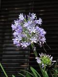 lily Nilu Obraz Royalty Free