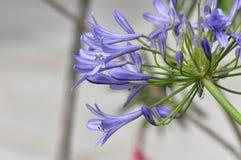 lily Nilu kwiat zdjęcie royalty free