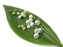 Free Lily Of The Valley Royalty Free Stock Photography - 123737