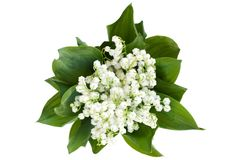 Free Lily Of The Valley Stock Photography - 14424982