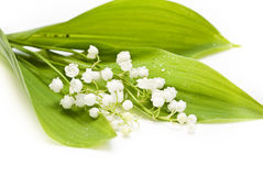 Free Lily-of-the-valley Royalty Free Stock Images - 14601059