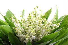 Free Lily Of The Valley Royalty Free Stock Image - 2443296