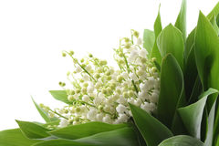 Free Lily Of The Valley Stock Photography - 2443302