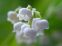 Free Lily Of The Valley Royalty Free Stock Image - 306296