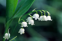 Free Lily Of The Valley Stock Photography - 4717292