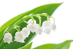Free Lily Of The Valley Stock Images - 9416254