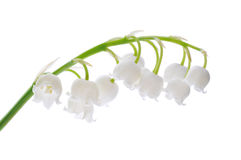 Free Lily Of The Valley Royalty Free Stock Images - 9416269