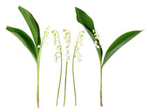 Lily Of The Valley Flowers On The White Stock Image