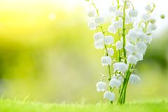 Free Lily Of The Valley. Nature Flowers In Sunny Day Royalty Free Stock Image - 104398976