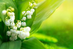 Free Lily Of The Valley. Nature Flowers In Sunny Day Stock Photography - 104399792