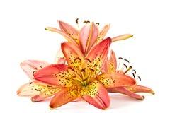 Lily orange Stock Photos