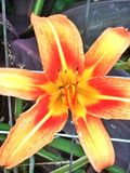 Lily. An orange lily Royalty Free Stock Images