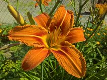 Lily Orange, brun, jaune image stock