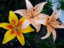 Lily Orange Electric ser till asiatiska bland arkivfoton