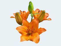 Lily orange flower looks very beautiful on white background. Lily orange petals look impressive on a white background. Three blooming flowers and four buds on a Royalty Free Stock Image