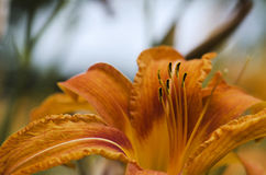 Lily orange red close up Royalty Free Stock Photos