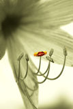 Lily, outstanding stamen Stock Photography