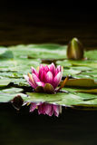 Lily Pad. A close up of a Lily pad and flower on a pond Royalty Free Stock Photo