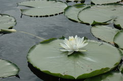 Lily pad. Fort Cooper State Park stock photos