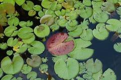 Lily Pad photos libres de droits