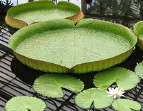 Lily pad Stock Image