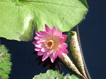 Lily Pad Imagem de Stock Royalty Free