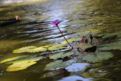 Lily pad. Lily Royalty Free Stock Photos