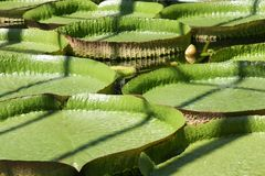 Lily Pad Photos stock