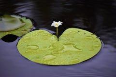 Lily Pad Immagini Stock