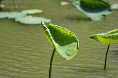Lily Pad Photo stock