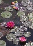 Lily Pad al giardino giapponese immagine stock libera da diritti