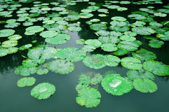 Free Lily Pad Background Stock Photography - 20338662