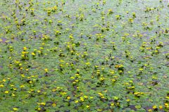 Lily Pad Background Stock Photo
