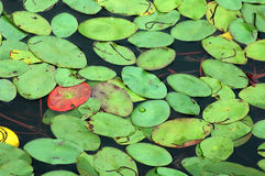 Lily Pad Background. Lily pads on the surface of a pond Royalty Free Stock Photo