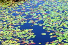 Lily Pad Background Northwoods. Lily Pads form a beautiful mosaic of color on the waters of Mabel Lake in northwoods Wisconsin royalty free stock photo