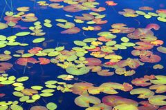 Lily Pad Background Wisconsin. Lily Pads form a beautiful mosaic of color on the waters of Mabel Lake in northwoods Wisconsin stock image