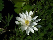 Lily Pad bianca Immagini Stock