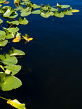 Lily pad border. Around blue lake Royalty Free Stock Images