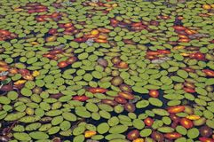 Lily Pad Carpet Royalty Free Stock Photo