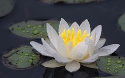 LILY PAD CLOSE UP stock images