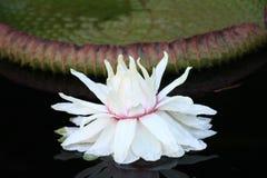 Lily Pad com a flor em Duke Garden Foto de Stock Royalty Free