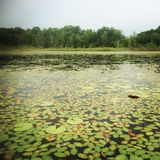 Lily Pad coverd Lake. Lily pads cover the waters surface at Sugar Loaf Lake in Waterloo, Michigan Royalty Free Stock Image