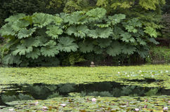 Lily pad duck pond Royalty Free Stock Image