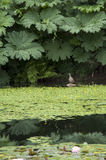Lily pad duck pond Royalty Free Stock Photos